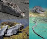 Marine reptile