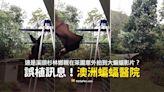 【錯誤】溪頭杉林鄉親在茶園拍到大蝙蝠影片?澳洲蝙蝠試飛影片