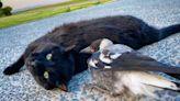 雕刻師救援鵲鳥寶寶 牠意外與黑貓變成超級好朋友!