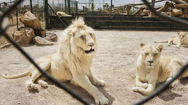 Inside South Africa's lion bone trade