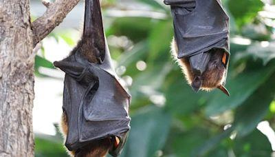 新冠起源找到了?寮國蝙蝠關鍵共同點 恐直接傳給人類