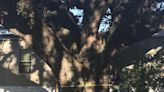 Appeal to save Escambia County's largest 'heritage tree' fails