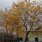 ╭☆東霖園藝☆╮優質樹種(黃花風鈴木)金風鈴 ---金黃耀眼的美感---4尺高/120公分上/7吋盆