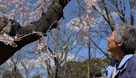 Coronavirus: Only a trickle of tourists for Japan's cherry blossom season