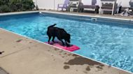 Labrador uses wakeboard to fetch ball out of pool