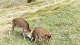 梅花鹿正值繁殖期 連江縣政府提醒賞鹿安全 (圖)