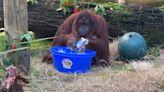 防疫期間紅毛猩猩示範「正確洗手SOP」 網讚:比我還仔細!