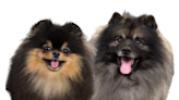 Pomeranian vs Keeshond: Similarities & Differences – American Kennel Club