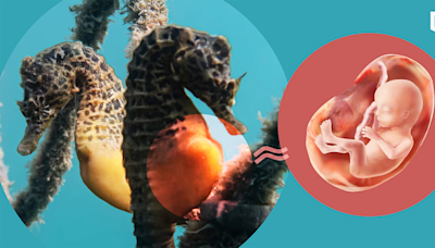 雄性海馬孵卵囊發育與功能 與人類胎盤類似 | 立場科學 | 立場新聞