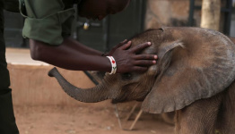 Kenyan elephant sanctuary tests goats' milk as healthier feed option