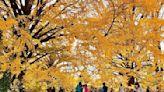 銀杏楓紅賞不完!秋冬必去東京三大黃金美景