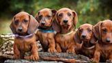 Perros Salchichas mini: precio, criaderos, fotos y características