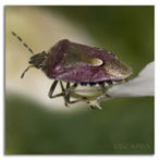 Stinkbug by Flickr user Magic_moments.