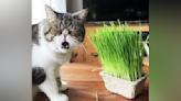 貓奴買新鮮貓草孝敬 愛貓用誇張表情醜拒 網讚「貓界顏藝大師!」