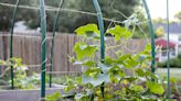 Best Companion Plants for Cucumbers