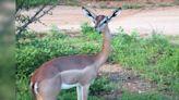 非洲長頸羚長相奇特 一輩子不喝水也能存活