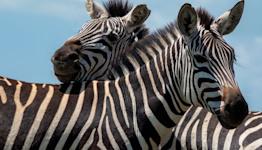 Zebra Saga: Maryland Officials Hatch Capture Plan Involving... Even More Zebras