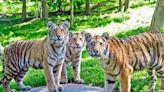 紐約動物園傳5虎3獅群聚感染!首見「無症狀」確診老虎