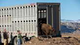 'Good medicine:' Buffalo delivered to home on the reservation