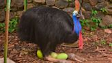 Cassowaries May Have Been Domesticated Before Chickens By Brave (Or Foolish) Humans