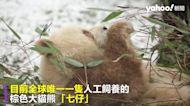 「巧克力版」棕色大貓熊首度亮相 全球人工飼養唯一一隻