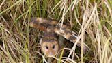 又叫猴面鷹或蘋果臉 揭開夜空中捕鼠高手也是一級保育動物草鴞面紗