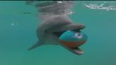 Miami Seaquarium's Zo predicts Dolphins as winner against Jacksonville Jaguars