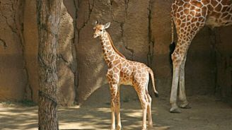 A baby giraffe named Witten, after the legendary Cowboys TE, died at the Dallas Zoo