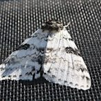 Moth by Flickr user wigu