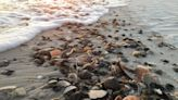 Where to find seashells by the seashore: Great beaches in California, Texas, Florida, more