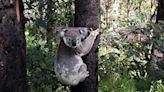 野火中救上百隻無尾熊 澳洲小狗獲國際獎項