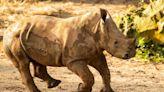 Ranger the baby rhino makes big savanna debut at Disney's Animal Kingdom