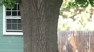 Cougar Roams Backyards Before Invading Washington Man's Home