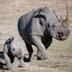 非洲黑犀牛
