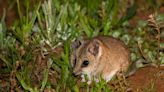澳洲野火有多悲慘?這些物種恐將萬劫不復:袋鼠島袋鼩、長腳長鼻袋鼠、黑輝鳳頭鸚鵡