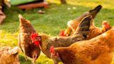 【食力】疫情拉升動物福利?歐洲萬人連署全面廢籠、市場預測人道飼養雞蛋將成亞洲主流