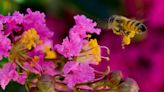 What causes honeybee die-off and how to help the bees