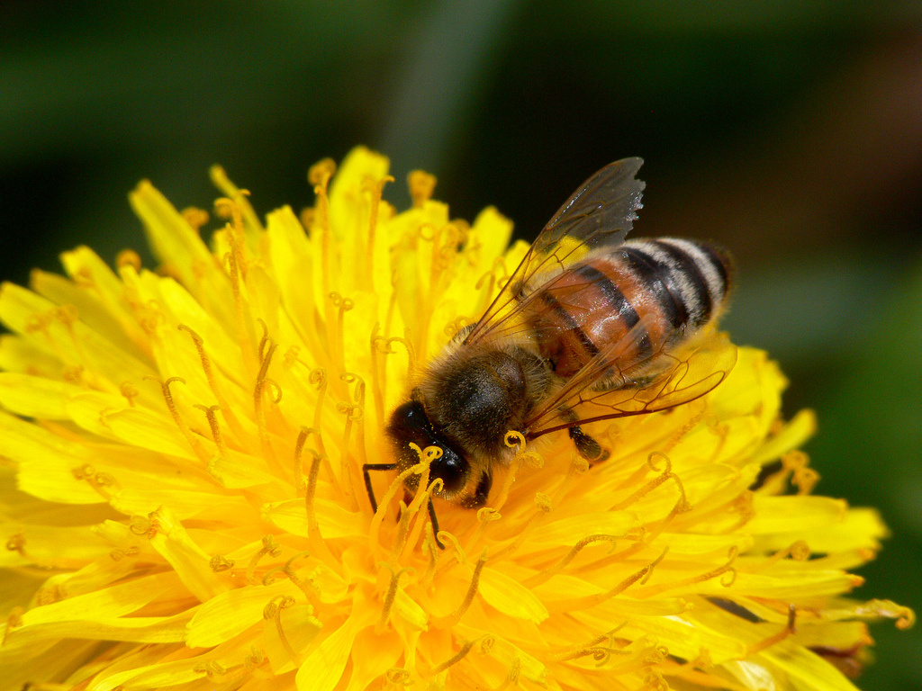 bye bees?: The mysterious disappearance of large portions of honey bee ...