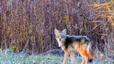 Coyote hunting season opens, renewing debate