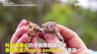 經歷毀滅性「黑色夏天」後 澳洲驚現超迷你侏儒負鼠奇蹟倖存