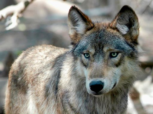 Wisconsin Shuts Down Hunt After 216 Wolves Are Killed In 3 Days