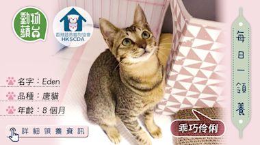 香港領養動物|8個月唐貓Eden乖巧伶俐 你願意給牠一個永遠的家嗎? | 蘋果日報