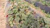 Histórica bajante del río Paraná: advierten que afectará la producción de frutillas de Santa Fe
