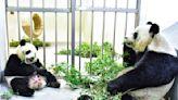 大貓熊圓寶和媽媽同步吃竹葉 食性轉換順利完成!