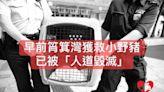 筲箕灣獲救小野豬已被人道毀滅 關注組籲政府公開動物醫療報告增透明度