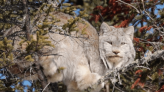 This Maine wild cat made the best birthday present of all