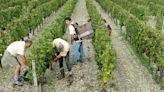 歐洲|義大利用機器採葡萄 - 工商時報