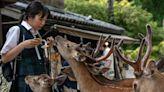 疫情下旅客大減 奈良鹿捱餓食膠袋中毒