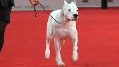 Beverly Hills Dog Show 2020: New breeds Barbet, Dogo Argentino introduced