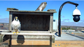 Peregrines nest atop a pole, after GRE plant is demolished